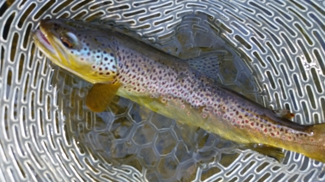 """Wild 20"""" inch rising browns on dry flies......yeah we dig 'em"""